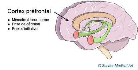 Le cortex préfrontal