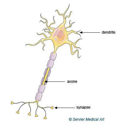 Définition de la neuroplasticité
