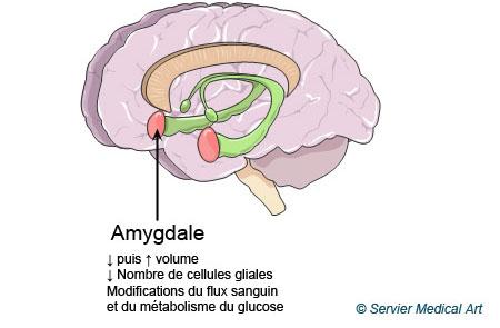 Neuroplasticité et amygdale