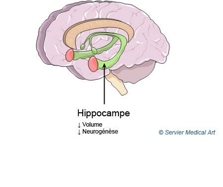 Neuroplasticité et hippocampe