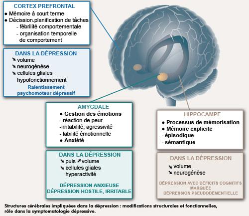 Altérations morphologiques cérébrales et dépression