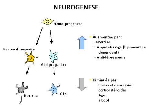 La neurogénèse