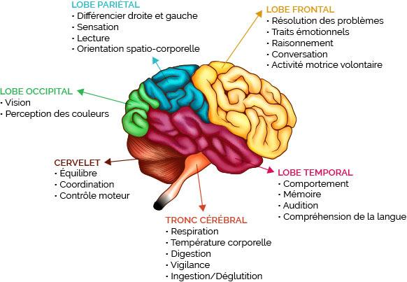 schema cerveau