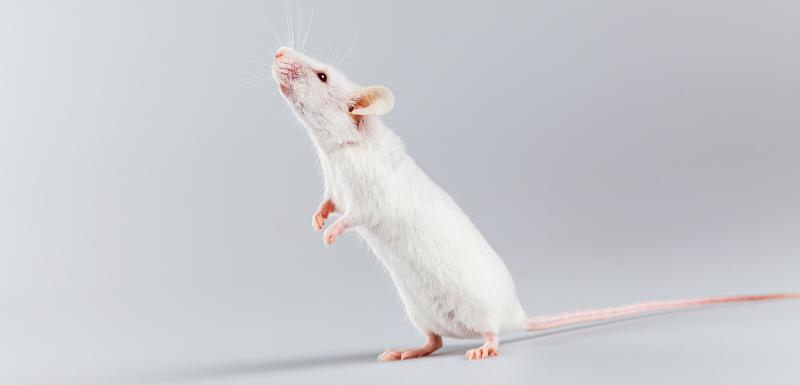 rats paralysés remarchent